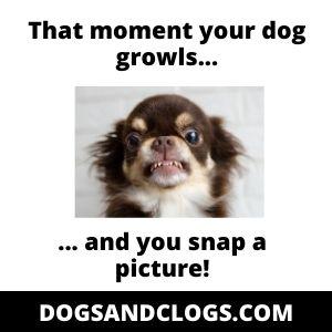 Aggressive Chihuahua Growling