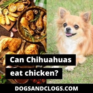 Can Chihuahuas Eat Chicken