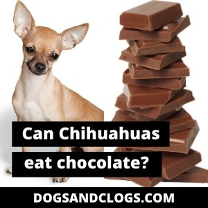 Can Chihuahuas Eat Chocolate
