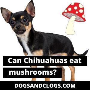Can Chihuahuas Eat Mushrooms?