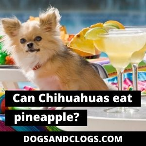 Can Chihuahuas Eat Pineapple