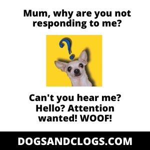 Chihuahua Barking For Attention Meme