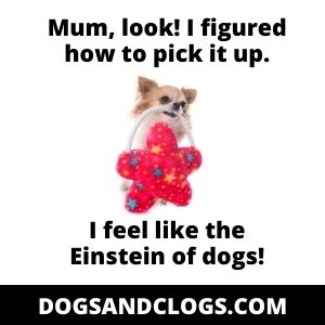 Chihuahua Toy Mental Stimulation