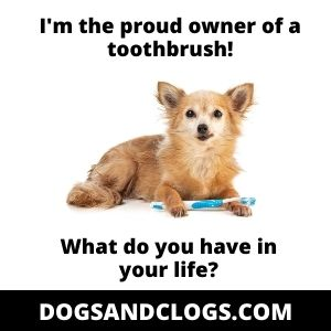 Chihuahua With A Toothbrush