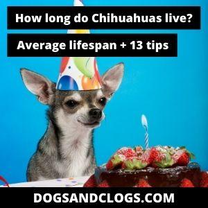 How Long Do Chihuahuas Live (average lifespan)