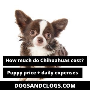 How Much Do Chihuahuas Cost