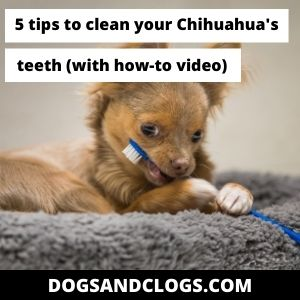 How To Clean Chihuahua Teeth