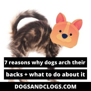Why do dogs arch their back