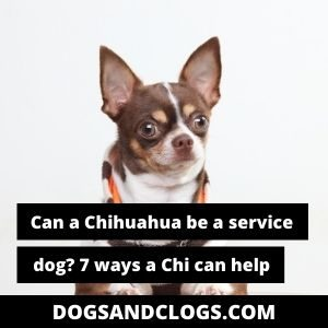 Can A Chihuahua Be A Service Dog