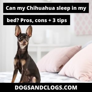 Can my Chihuahua sleep in my bed