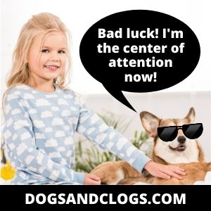 Corgi Good With Kids Center Of Attention