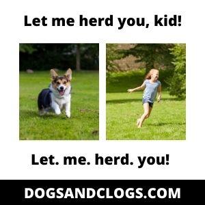 Corgis And Kids Herding Instinct