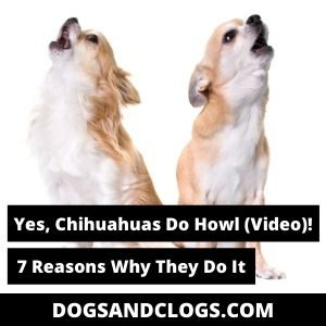 Do Chihuahuas Howl