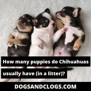 How Many Puppies Do Chihuahuas Have