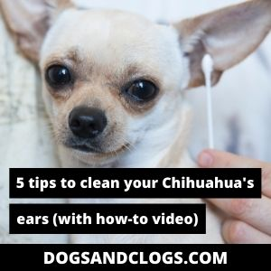 How To Clean Chihuahua Ears