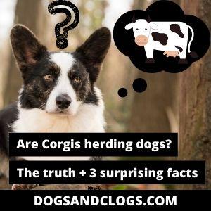 Are Corgis Herding Dogs
