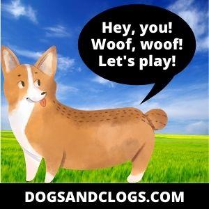 Corgi wants to play