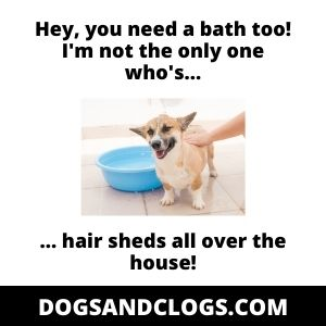 Corgi Bath Shedding Meme