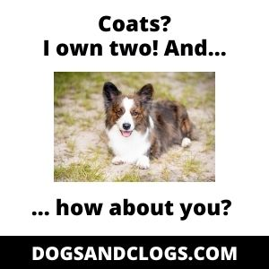 Corgi Double Coat Meme