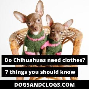 Do Chihuahuas Need Clothes