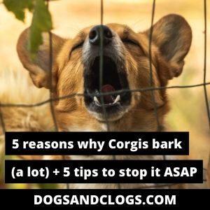 do corgis bark