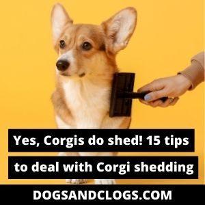 Do Corgis Shed