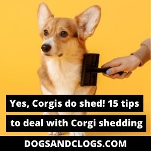 Do Corgis Shed