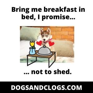 Husky Food Meme