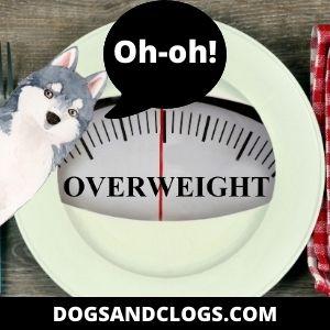 Overweight Husky