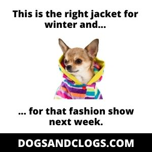 The right jacket for Chihuahua