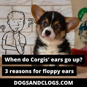 When Do Corgis Ears Stand Up