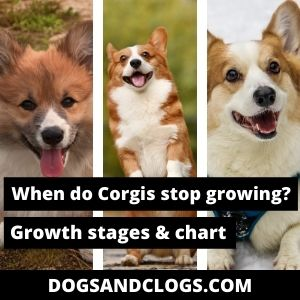 When Do Corgis Stop Growing