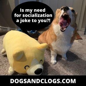 Socialize Your Corgi