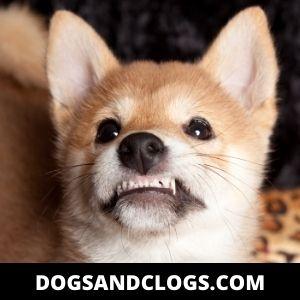 Teething Puppy Being Destructive