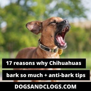 Do Chihuahuas Bark A Lot