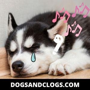 Depressed Husky