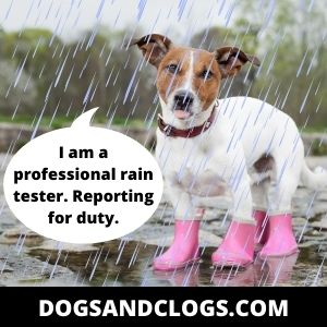 Dogs Like To Drink Rainwater Because They Are Naturally Curious