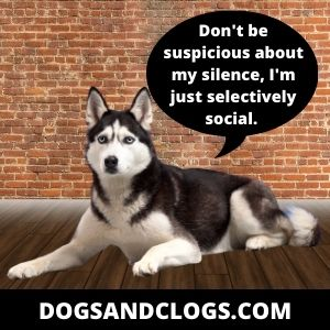 It's Your Husky's Personality To Be Quiet