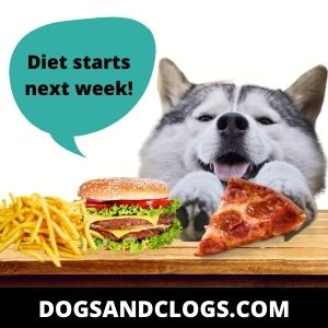 Obesity Is One Of The Reasons Why Your Husky Breathes So Fast