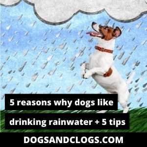 Why Do Dogs Like Drinking Rainwater
