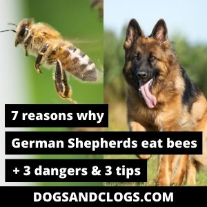 Why Do German Shepherds Eat Bees