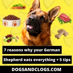 Why Does My German Shepherd Eat Everything