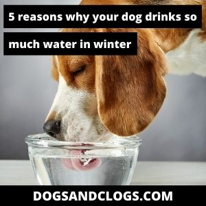 Why Is My Dog Drinking So Much Water In The Winter