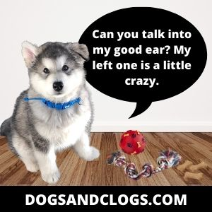 Your Husky Won't Listen Because It Has Hearing Problems