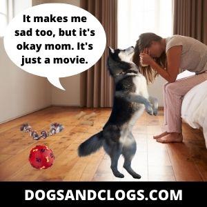 Husky Provides Comfort Meme