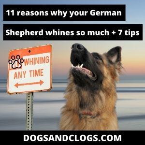 Why Does My German Shepherd Whine So Much