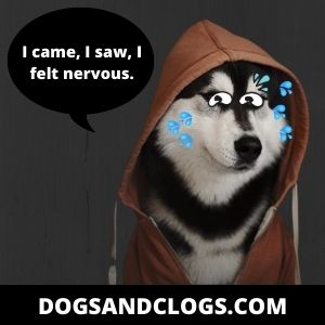 Your Husky Is Nervous Because They Aren't Well Socialized