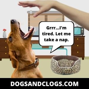 Your Dog Growls At Night Due To Sleep Aggression