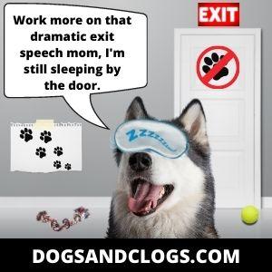 Your Husky Sleeps By The Door To Block The Exits
