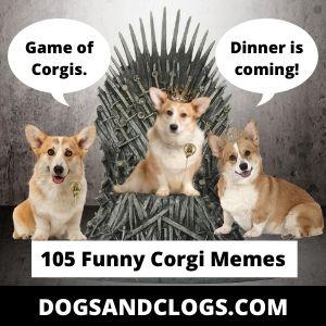 105 Funny Corgi Memes